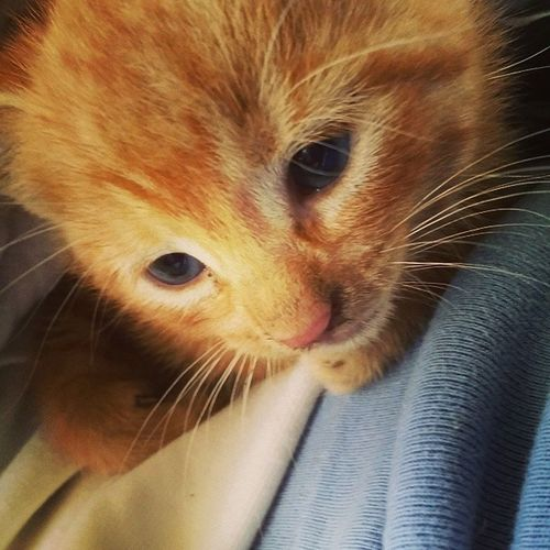 This is the best picture I could get of his eyes. BlueEyes Orangekitty Gingerkitty Sumah