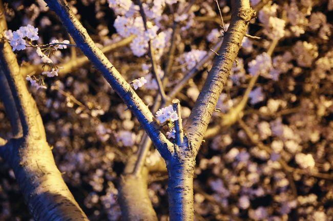 벚꽃 진해군항제 진해벚꽃축제 벚꽃명소 벚꽃 경화역 Branch Tree Flower Close-up Plant