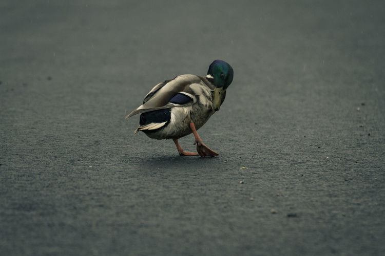Mallard on the street Animal Themes Animal Wildlife Animals In The Wild Bird Day Nature No People One Animal Outdoors Perching Road