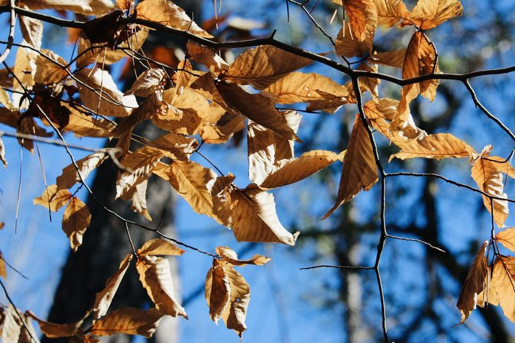 Low angle view of dry leaves on branch against sky