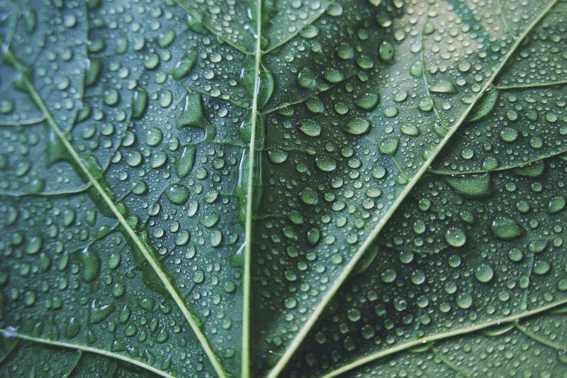 Drop Wet Leaf Water Plant Part Backgrounds Full Frame Nature Leaf Vein Rainy Season Outdoors RainDrop Growth No People Green Color Close-up Purity Day Rain Dew