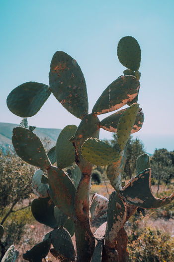 Close-up of prickly pear cactus on field against sky