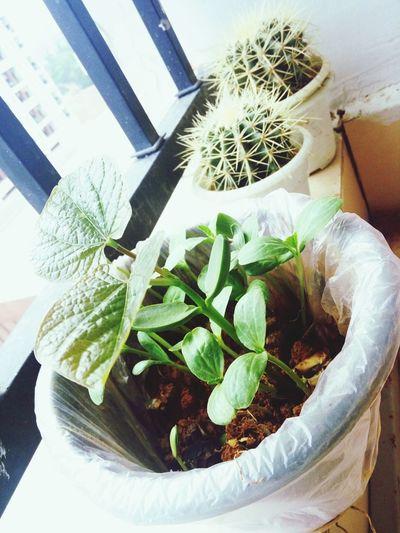 吃西瓜吐的西瓜子发芽了