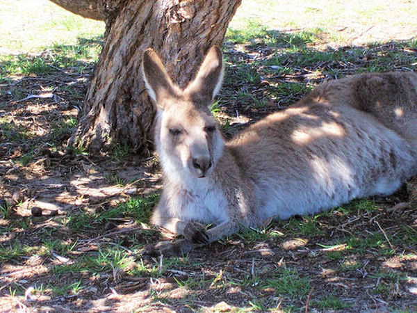Skippy resting under the tree Animal Themes Animal Wildlife Animals In The Wild Day Field Forest Grass Kangaroo Island Mammal Nature No People One Animal Only In Australia Outdoors Skippy Tree EyeEmNewHere