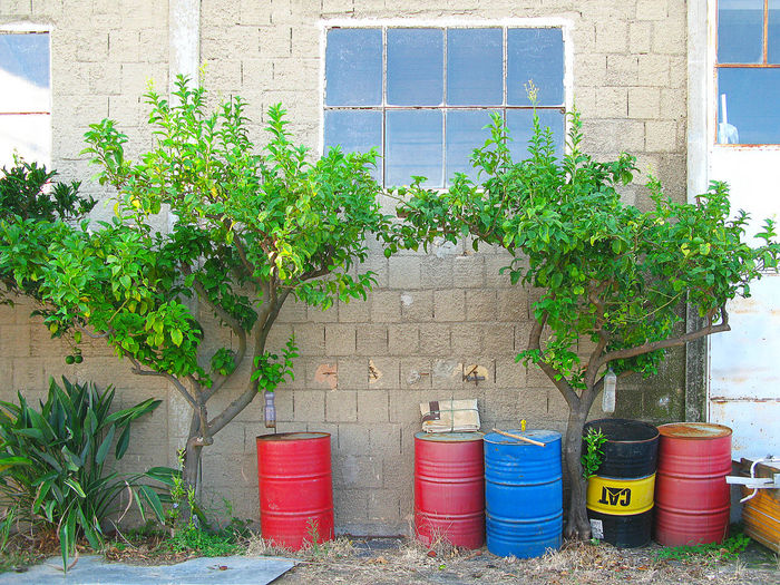 Lemon Trees Abandoned Places Nature StillLifePhotography Tree TreePorn Trees Abandoned Abandoned Buildings Architecture Building Exterior Built Structure Day Drum - Container Lemon Lemon Tree Lemon Trees Nature Nature_collection No People Outdoor Photography Outdoors Outside Still Life Tree_collection  Window Springtime Decadence