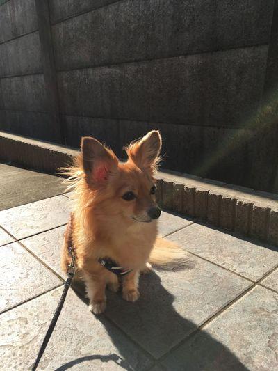 チワックス Dog Chihuahua Mixdog チワワ 犬