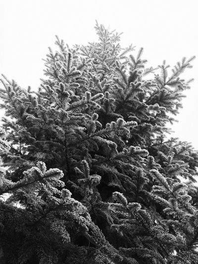 Sapin Growth Nature No People Plant Tree Day Close-up Focus On Foreground Clear Sky Winter Outdoors Beauty In Nature Sky Freshness The Great Outdoors - 2017 EyeEm Awards EyeEmNewHere EyeEm Best Shots Beauty In Nature Place Of Heart Shades Of Winter