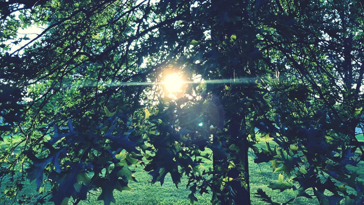 tree, sun, lens flare, sunbeam, sunlight, nature, growth, beauty in nature, scenics, outdoors, tranquil scene, tranquility, bright, low angle view, shining, branch, no people, plant, day, forest, shiny, leaf, sky, freshness, tree area