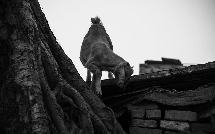 Low Angle View Animal Sky Animal Themes Mammal Vertebrate No People Tree Trunk Trunk One Animal Clear Sky Domestic Domestic Animals Pets Tree Goat Blackandwhite Black And White Black & White