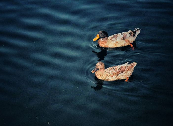 Ducks. - What do you link of my colour experiments? Ducks Ducks At The Lake Ducks In Water Duck Animal Themes Animal Vibrant Color Vintage Vintage Style Vintage Photo EyeEm Nature Lover Eyeemphotography Water Rippled Close-up Autumn Mood