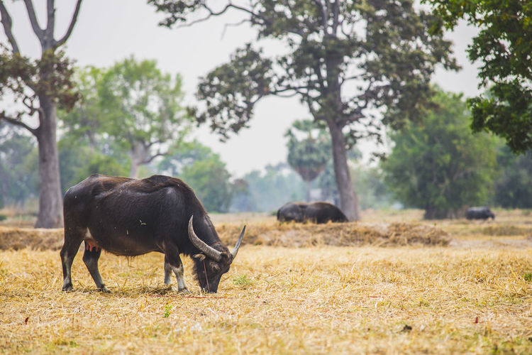 Animal Animal Themes Black Color Buffalo Day Domestic Animals Field Focus On Foreground Grass Grassy Green Color Growth Landscape Mammal Nature No People Non-urban Scene Outdoors Selective Focus Tranquil Scene Tranquility Tree Water Buffalo Water Buffalos