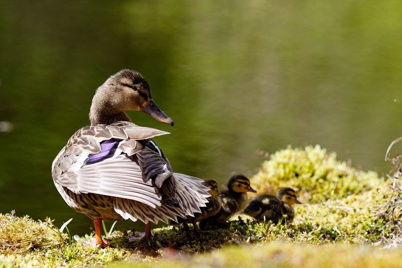Close-up of female mallard duck and ducklings against lake