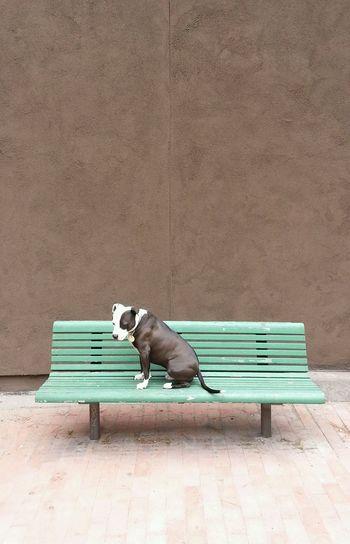 Spoon The Dog Park Bench Bench Pitbull Pets Corner Staffy