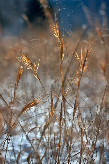 Close-Up Of Wheat Plants In Field