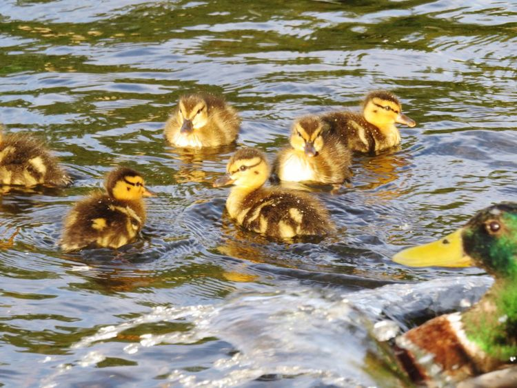 Father duck watching over ducklings. Duck Ducklings Ducks Swimming Babysitting Mallard Duck Cute Animals The Great Outdoors - 2016 EyeEm Awards Boston Public Garden  Cute Animal Baby Animals EyeEm Nature Lover EyeEm Animal Lover Nature_collection Nature Photography Parenting City Park