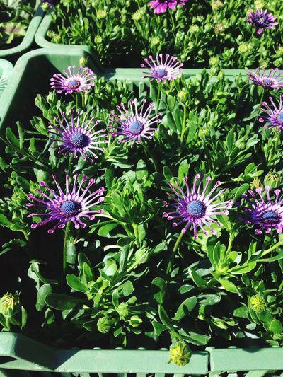 Unusual flower 😳👍🏻 Spring Flower Purple Unusual Bloom Gardenia