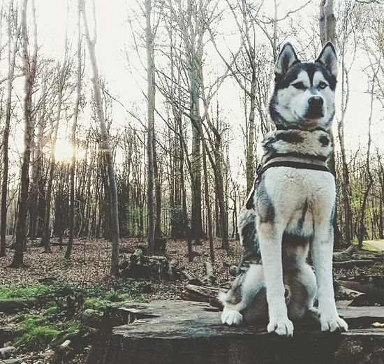 Dog Pets Domestic Animals One Animal Animal Themes Mammal Day Outdoors Nature Beauty In Nature Tranquility Dogslife Doglover Dogstagram Dog Lover Dog❤ Animal Purebred Dog Tree Husky No People Winter Bare Tree Nature Sky