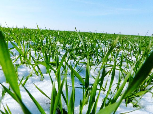 Agriculture Field Green Color No People Cereal Plant Rural Scene Outdoors Close-up Sky Grass Grass In Snow Snow Growth Easter Easter Sunday Spring Springtime Green Green Grass Freshness Winter Winter Field Wintersun Day Nature