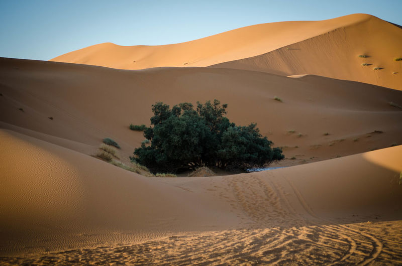 Lonely green tree in desert dunes Africa Arid Climate Blue Sky Bushes Camels Contrast Desert Dry Dune Dunes Of Merzouga Hill Merzouga Mirage Morocco Nature Sand Scenics Shore Silence Sky Solitude Tourism Travel Destinations Tree Vacations