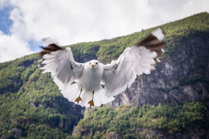 Capture The Moment Capturing Movement Greedy Seagull Sea Gull Flying Movement Bird Bird Photography Photography In Motion Flåm