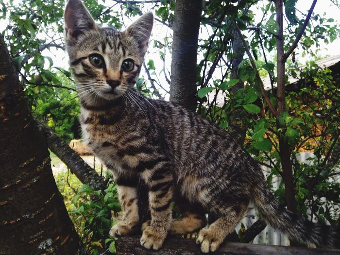 Animal Themes One Animal Domestic Cat Mammal Feline Domestic Animals Pets Looking At Camera Portrait No People Cat Whisker Full Length Outdoors Day Carnivora Tree Nature Close-up Tabby