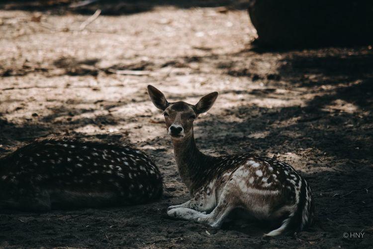Portrait of deer relaxing on land