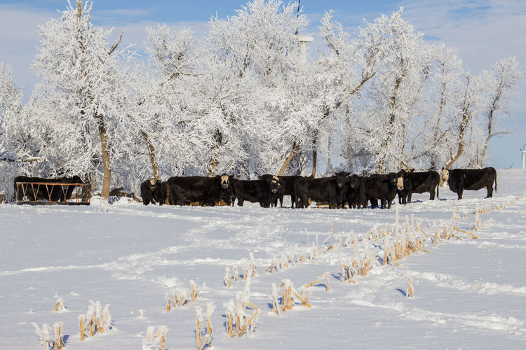 Canonphotography Canon60d Snow Winter Tree Animal Livestock Cattle Day Herd Outdoors Frost Agriculture Farm Black Black Angus Cow Cold Beef Cow Domestic Animals Windbreak Field Corn Stalks