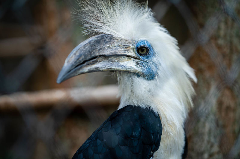White crowned hornbill