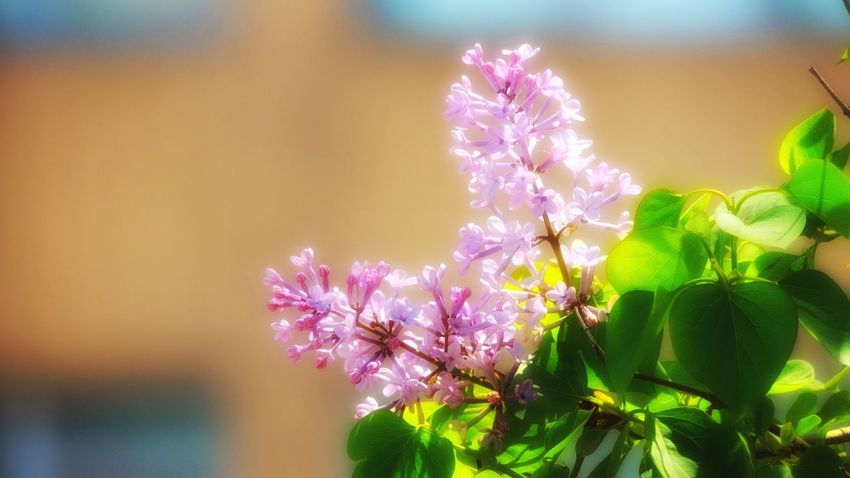 Flower Beauty In Nature Fragility Nature Growth Freshness Petal Plant Flower Head No People Close-up Blooming Purple Focus On Foreground Outdoors Pink Color Day Springtime Leaf