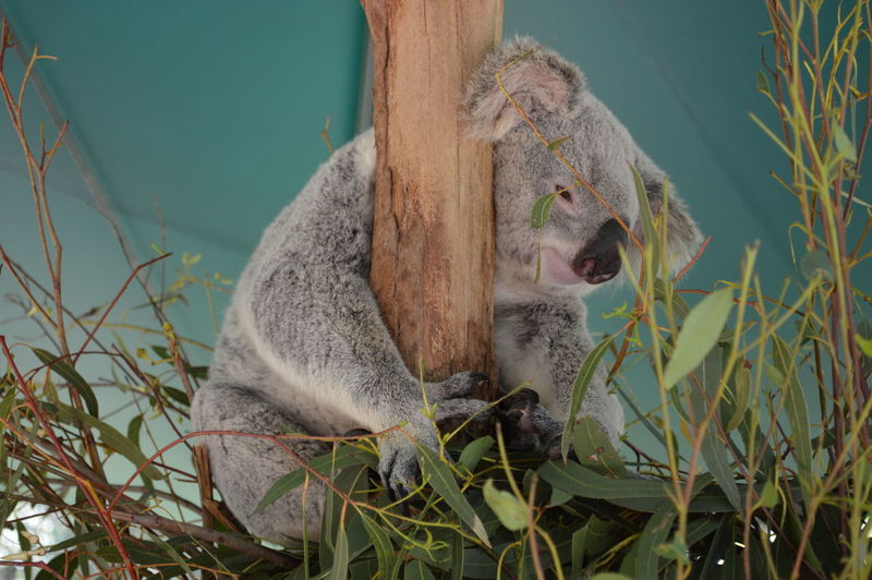 Close-up of koala on tree