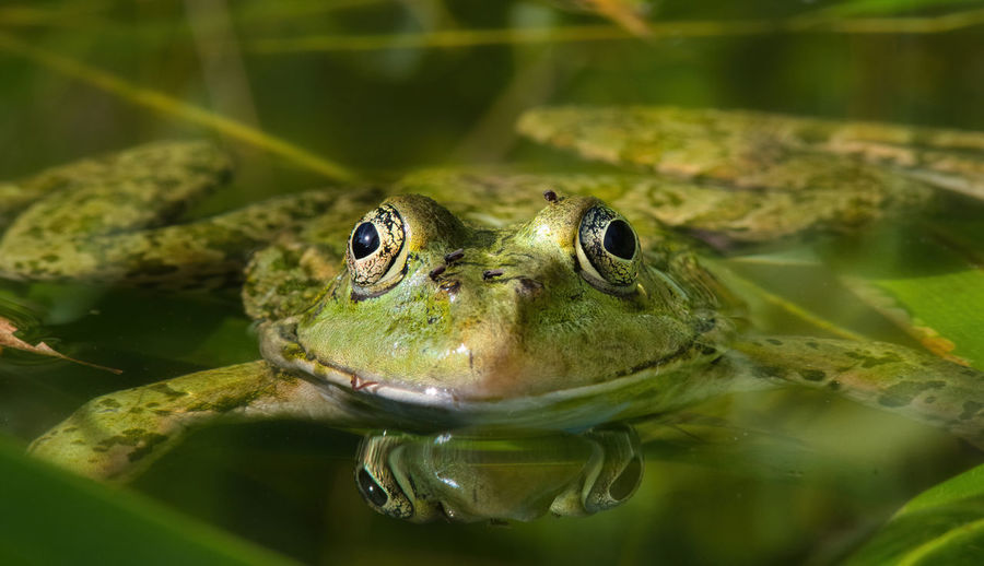 Close-up of frog swimming in lake
