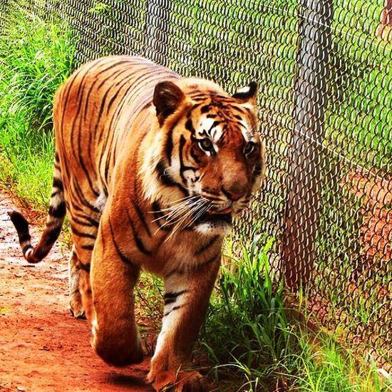 Tigre Tigger Zoo Zoológico Animals Great_captures_paraguay Cat Cats Felino Instapet