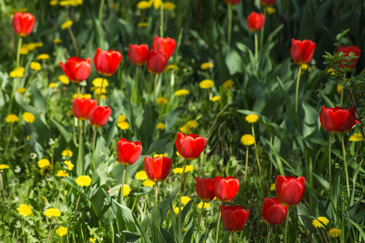 No People Orange Color Tulips Tulip Dandelion Yelow Flowers Red Flower Dandelions Green Color Flower Head Flower Poppy Beauty Multi Colored Red Flowerbed Springtime Summer Leaf Blooming Botany Blossom Flowering Plant