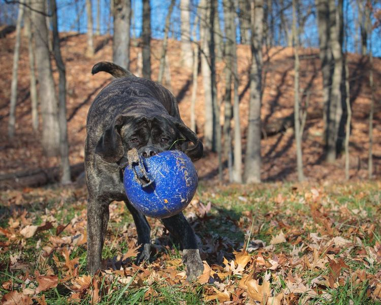 Mastiff English Mastiff Dog Pets One Animal Autumn Domestic Animals Animal Themes Focus On Foreground Day Ball Outdoors Playing No People Nature Mammal