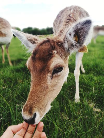 EyeEm Selects Human Hand Holding Togetherness Close-up Grass Personal Perspective Deer Human Finger Young Animal Horned Antler Stag Finger Lamb Calf Duckling 50 Ways Of Seeing: Gratitude