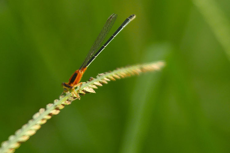 An orange dragonfly resting on a blade of grass. This type of insect you can now rarely or hardly seen in the urban area. Dragonfly Grass Green Orange Animal Animal Wildlife Beauty In Nature Close-up Flying Insect Green Color Insect Nature
