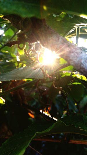 soft light EyeEmNewHere Leaf Wood Tree Tree Leaf Sunlight Lens Flare Close-up Plant Shining Sunbeam Light Beam Sunrise Sun Growing