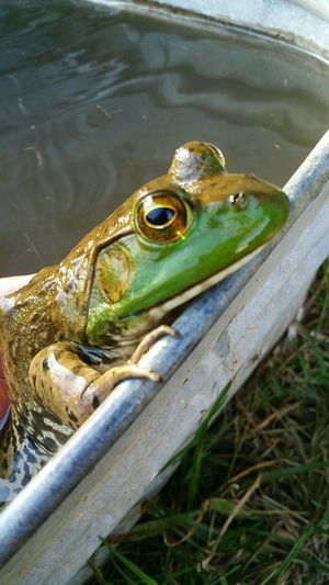 Big green bullfrog with head sticking out of water
