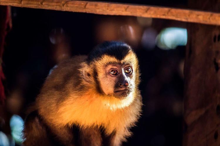 Rio Brazil Animal Macaco Monkey Indios Amazonia Natureza Selvagem Lemur Intelligence Ape Baboon Cute Primate Close-up