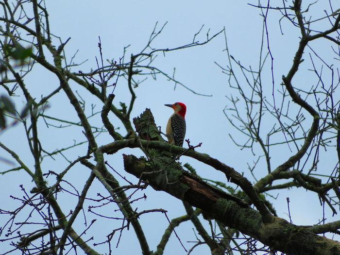 Woodpecker pecking Woodpecker Woodpeckers Wildlife & Nature Hornbill Bird Perching Tree Branch Bare Tree Blue Forest Red Tropical Bird