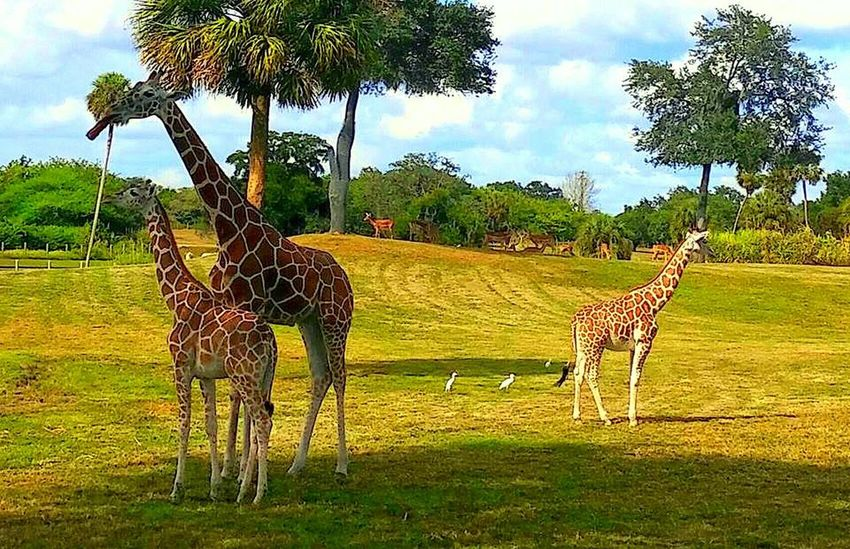 Animal Themes Animals In The Wild Day Full Length Giraffes! Safari Animals Togetherness Zoology