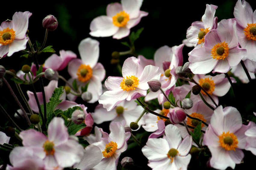 Japanese Anemone Anemone Beauty In Nature Blooming Flower Flower Head Freshness Growth No People Pink Flower Pollen Flowering Plant Botany