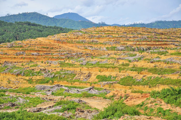 Deforestation and replanting of young oil palm tree Agriculture Cutting Deforestation Disaster Environment Estate Flowers Forest Harvest Hill Logging Oil Oil Palm Palm Trees Plant Replanting Rural Seed Young
