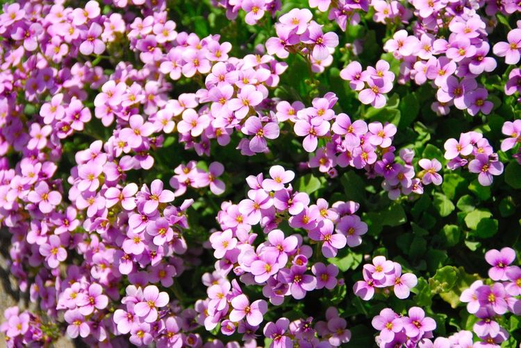 Carpet of tiny pink flowers Pink Color Flowering Plant Flower Plant Freshness Fragility Beauty In Nature Vulnerability  Petal Growth Pink Color Full Frame Flower Head Inflorescence Backgrounds Nature Day No People Close-up High Angle View Abundance Nature