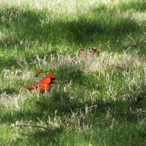 Cardinal! Panasonic Lumix DMC-FZ80 Plant Grass Nature One Animal Green Color Field Growth