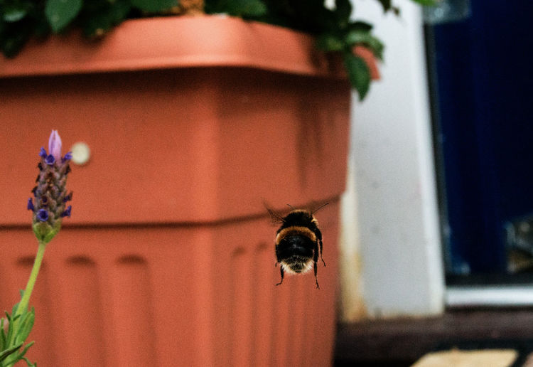 Close-up of bumblebee flying by terracotta pot
