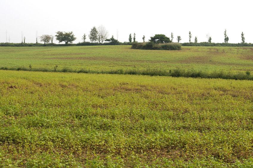 buckwheat field at Hakwon Farm in Gochang, Jeonbuk, South Korea Farm Agriculture Beauty In Nature Buckwheat Buckwheat Farm Buckwheat Field Day Field Grass Growth Hakwon Farm Landscape Nature No People Outdoors Rural Landscape Rural Scene Tree