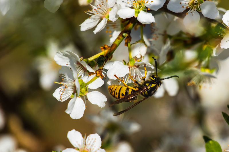 Wasp sitting on white blossoms drinking nectar