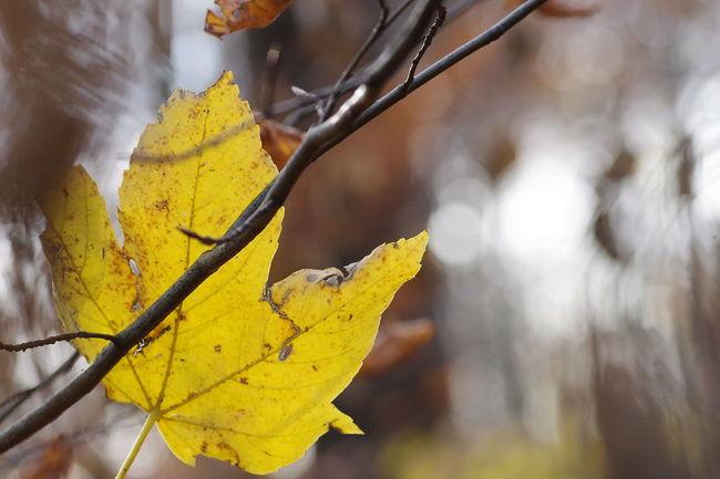 Verfangen... Beauty In Nature Autumn🍁🍁🍁 Leaf 🍂 Autumn Yellow Tree Outdoors Philosophenwald PENTAX KP EyeEm Deutschland Streamzoofamily Nature Streamzoofamily