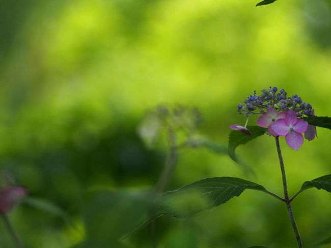 そっと…囁くように… あじさい 山紫陽花 Flower Pink Flower Natural EyeEm Nature Lover EyeEm Best Shots Flower Collection EyeEm Gallery